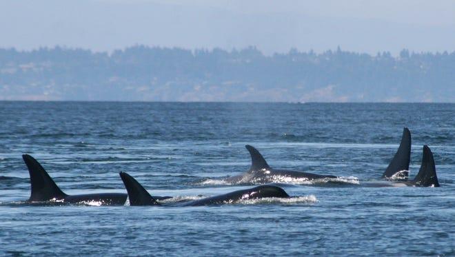 Southern resident killer whales swim off the coast of San Juan Island, Wash.