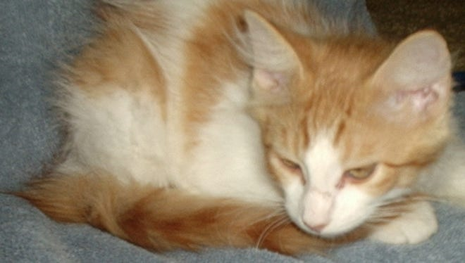 Guy is a three month old neutered male orange and white kitten. He is feisty and independent and likes to explore. He was found as a stray in Baxter County. To adopt Guy, call (870) 425-4825 or (347) 244-2477 or visit www.dogsncats.petfinder.org to see other Louis Animal Foundation animals available for adoption.