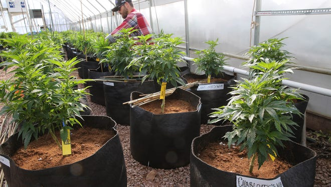 """In this Feb. 7, 2014, file photo, a worker cultivates a special strain of medical marijuana known as """"Charlotte's Web"""" inside a greenhouse, in a remote spot in the mountains west of Colorado Springs, Colo.  Parents from across the country have flocked to the state to get access to this strain of CBD oil."""