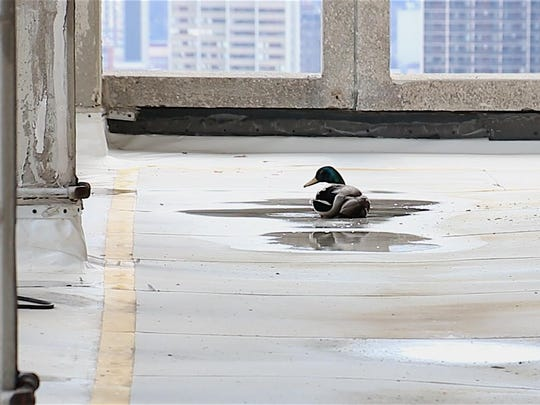 A maintenance worker at 211 W. Fort grew concerned and contacted the Humane Society after noticing a duck that appeared to be injured.