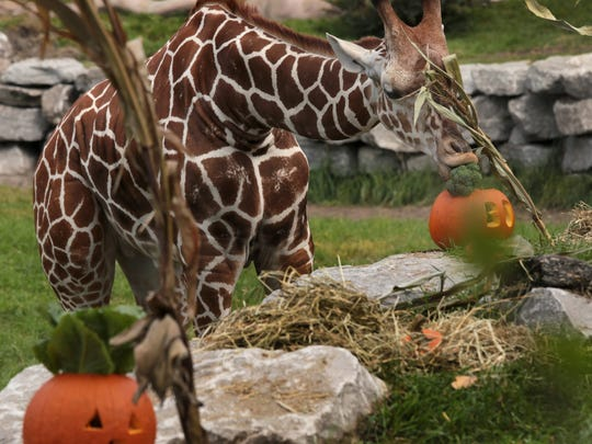 Kivuli, an adult female giraffe munches on broccoli she pulled out of a pumpkin at the Detroit Zoo in Royal Oak. Animals were treated to some healthy pumpkin and cornstalk treats during their Smashing Pumpkins event at the Detroit Zoo.  A large number of families came out for the special event on Wednesday, Oct. 12, 2016.