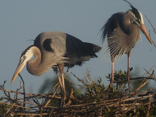 Those counting birds during the Audubon Society's annual Christmas survey may see great blue herons.
