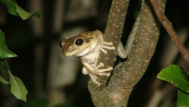 A non-native Cuban Tree frog looks out from its perch on a tree in Rotary Park on Merritt Island.