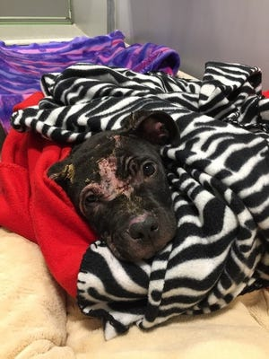 Investigators are looking for information about who may have abused this 3-month-old pit bull puppy found last week in Delta Township.