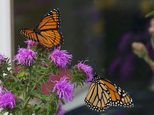 This photo shows a viceroy and a monarch butterfly.