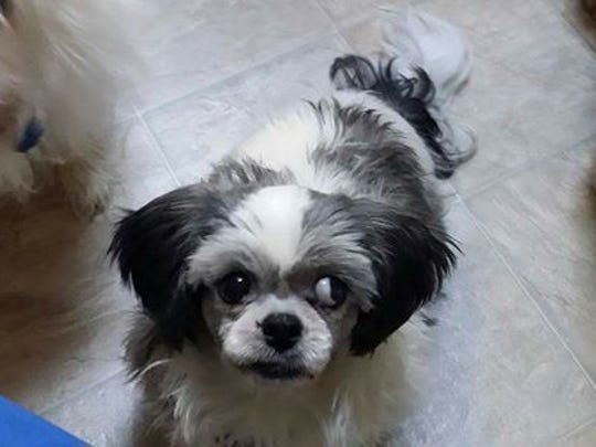 This missing pet was in a stolen car that ended up in Collier County after a high speed chase. The family is devastated!