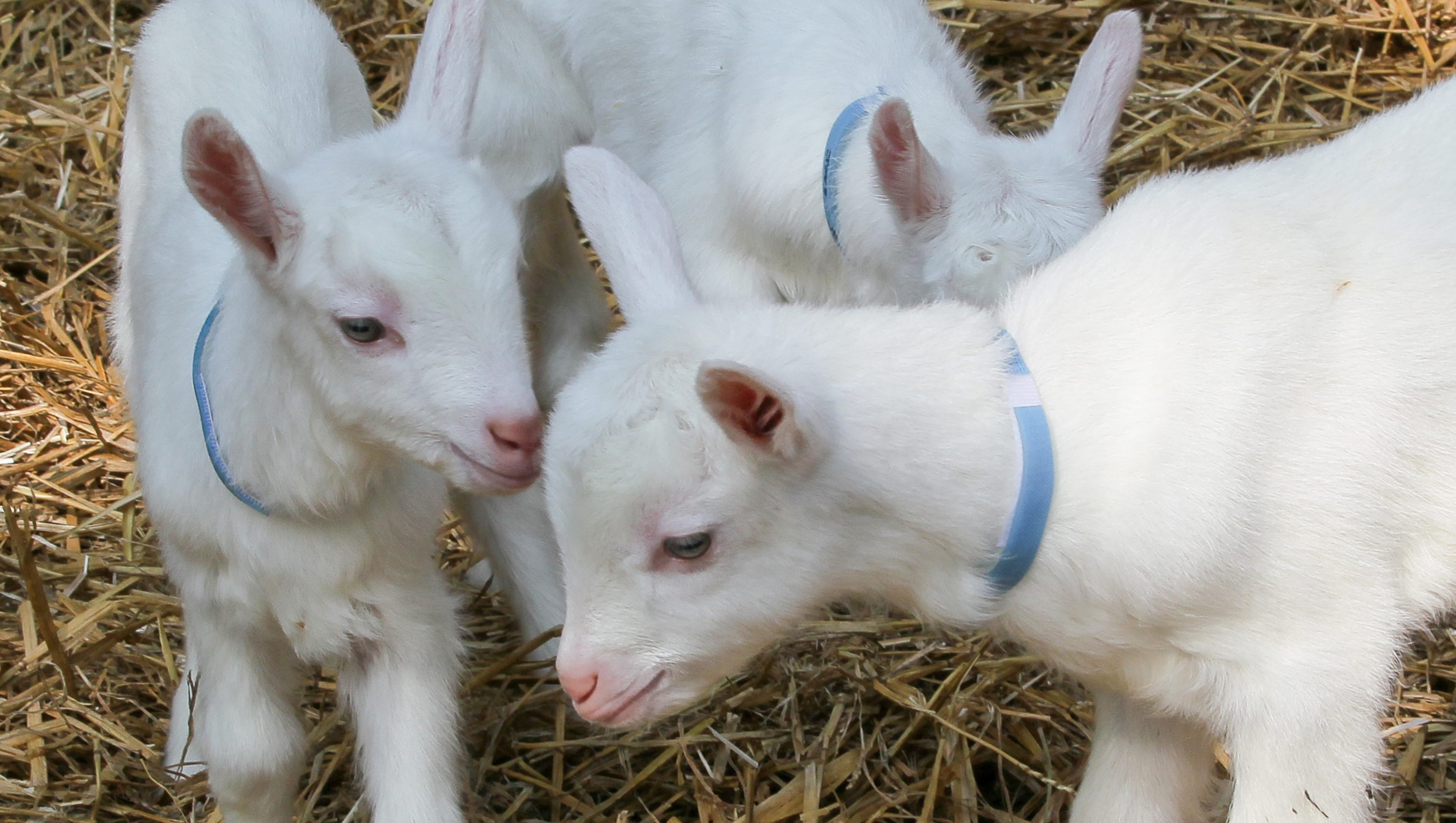 R Goats Spring means ba...