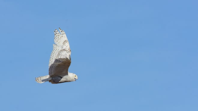 A rescued snowy owl is seen in this file photo.
