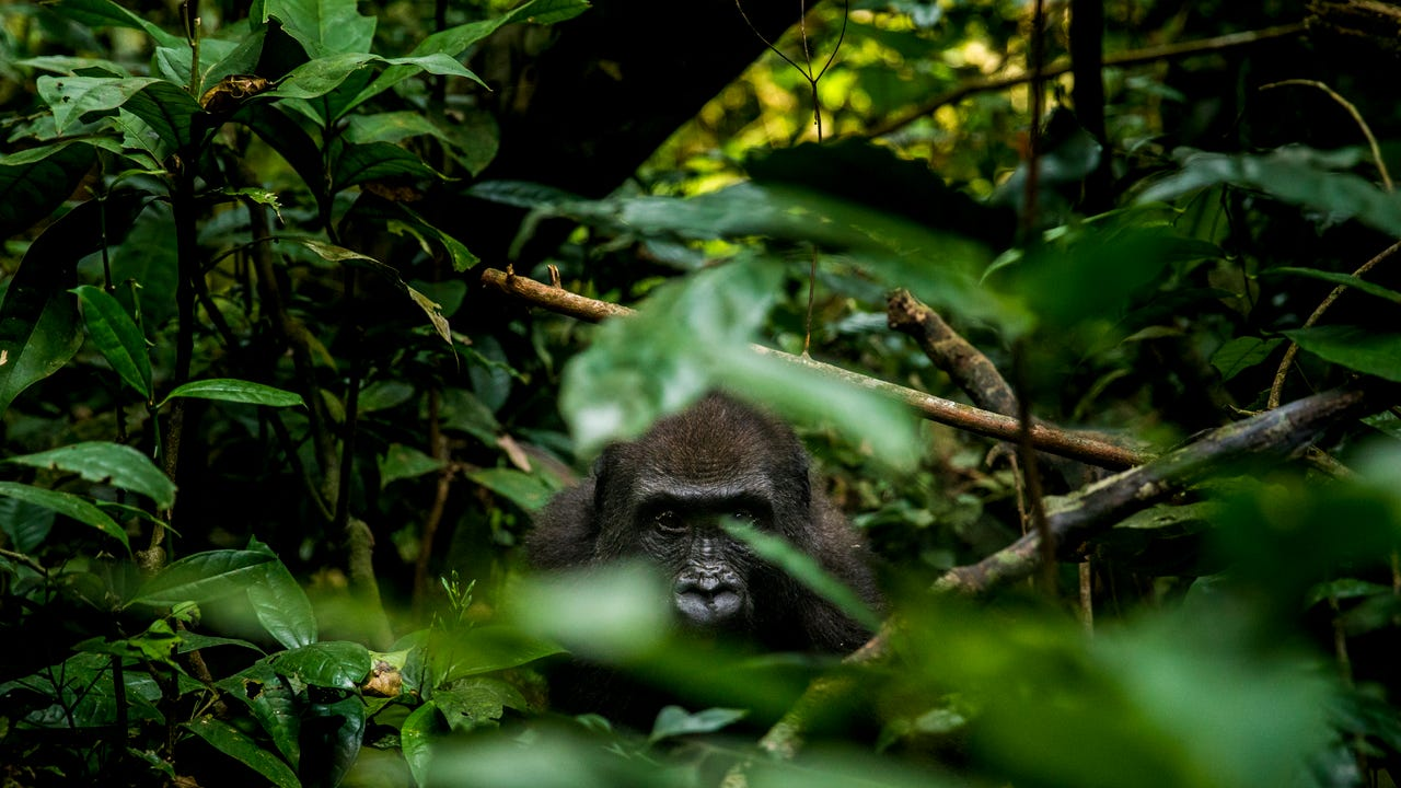 Cincinnati Zoo director Thane Maynard and curator of primates Ron Evans travel to the Republic of Congo to find the western lowland gorillas. And all the things that threaten them.