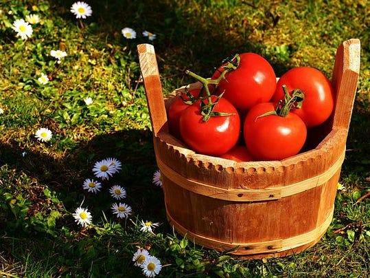 tomato in bucket 2