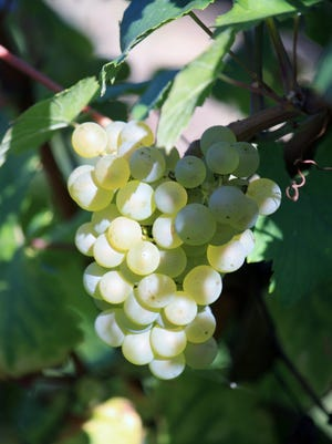 How many bottles of wine come from a grapevine? Gus Clemens explains.