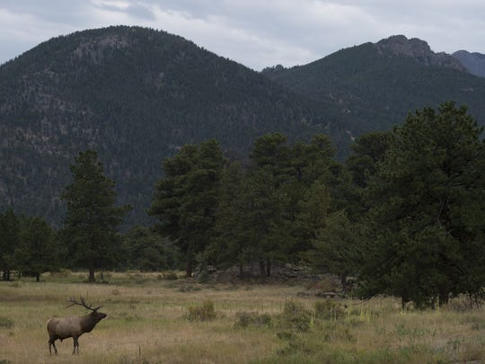 A bull elk surveys his landscape near main entrance to Rocky Mountain National Park Friday, September 4, 2015.