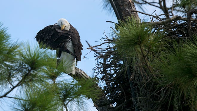 One of the eagles from the Southwest Florida Eagle Cam nest in North Fort Myers grooms itself on Wednesday morning.