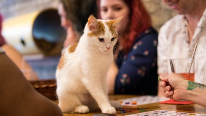 Libby the cat looks at the bingo boards as people listen for the numbers to be called at a Sip & Purr drag queen bingo event.