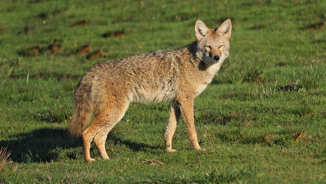 A coyote is spotted at Baskett Slough National Wildlife Refuge in November.