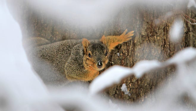 A squirrel voices his defense as he looks at a photographer, from a snowy tree at Holliday Park, Wednesday, January 8, 2014.