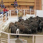 Billings Livestock auctions a pen of heifers in Lockwood. Ranchers have begun replacing the 4.3 million American cattle lost to drought since 2012, filling the void with Montana livestock. Since early spring, buyers from as far away as Texas and Tennessee have been represented at Montana auction arenas, where bidding on replacement heifers has been brisk.