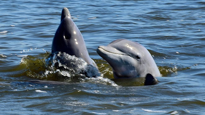 Two dolphins do a spyhop to peek at their surroundings above water level.