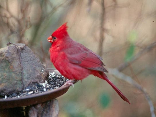 Cardinal at bird feederjpg
