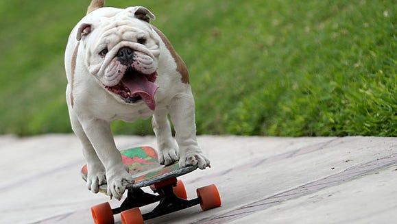 Otto the bulldog.