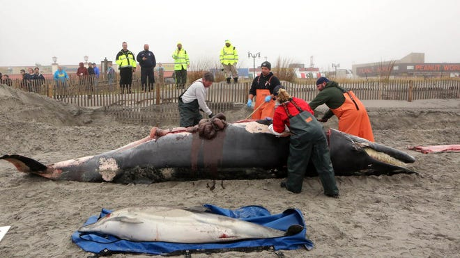 Bob Schoelkopf, left, director of the Marine Mammal Stranding Center, looks over a minke whale that washed up along with a common dolphin, in Atlantic City, N.J., Thursday, May 1, 2014.