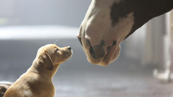 """Anheuser-Busch's 2014 Super Bowl commercial, titled """"Puppy Love,"""" ran near the end of the game."""