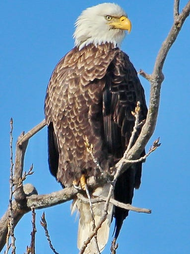 An eagle perched at Lakeside Park in Fond du Lac in