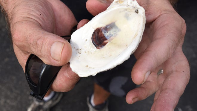 Joe Casey holds an oyster shell on Wednesday in Rehoboth Beach. His business, Clean Green Horizons, recycles the shell and has collected about 3.5 million pounds since 2009.