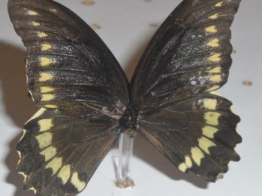 black-swallowtail-010.JPG
