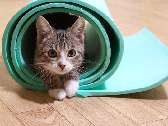 The York County SPCA will host cat yoga March 18 and