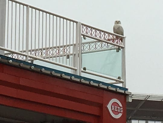 On Tuesday, January 9, a male snowy owl visited Great American Ball Park. While it was very early for baseball season, it took a sweeping tour of the field and left presents behind for the grounds crew.