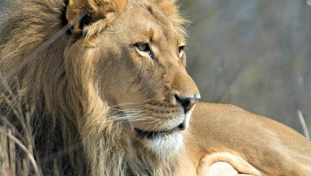The Fort Wayne Children's Zoo lion, Bill, died Thursday, April 7, 2016, shortly after being diagnosed with cancer.