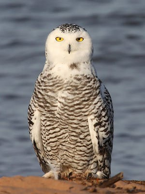 Snowy owls range from 3 to 6 pounds and stand 2 feet tall and have 5-foot wingspans.