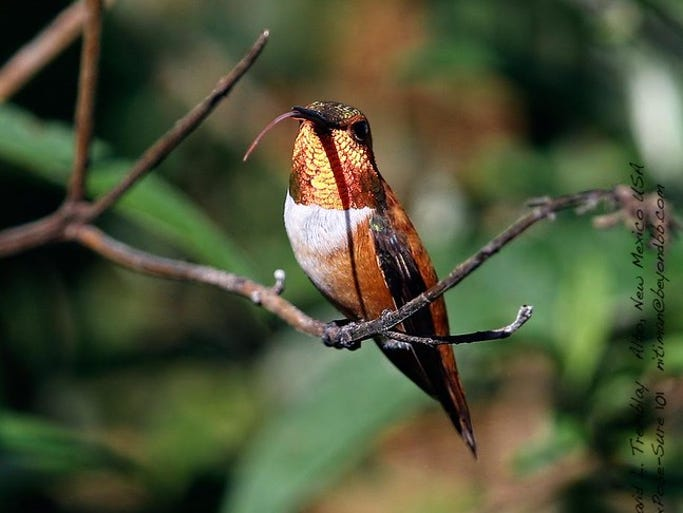 A Rufous hummingbird shows his disdain by sticking