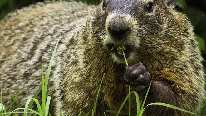 A groundhog was shot by a person in Loganville, Pennsylvania State Police said.