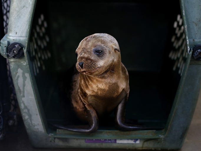 A sick and malnourished California sea lion pup sits