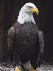 Liberty, one of the bald eagles at the Howell Conference