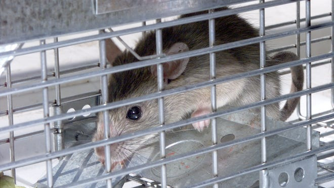 A roof rat, a fan of backyard citrus, languishes in a trap. Trapping the rodents and picking fruit from trees are key deterrents.