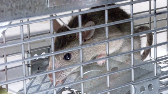 A roof rat, a fan of backyard citrus, languishes in