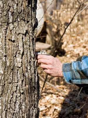 A farmer holds a tap (spile) against the trunk of a maple tree. He'll hammer the tap in to collect the sap for processing into maple syrup.
