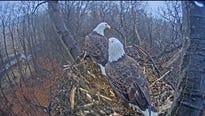 Avid viewers of the Hanover eagle cam, the livestream set up to document an eagle nest near Codorus State Park, might at times hear dogs barking or people talking.