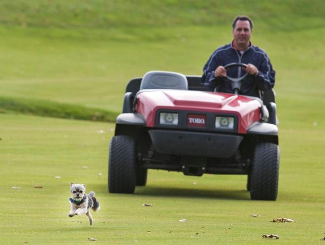 Pinki runs ahead of owner Damon DiGiorgio's cart as they make their rounds through the Fieldstone Golf Course, where DiGiorgio is course superintendent.