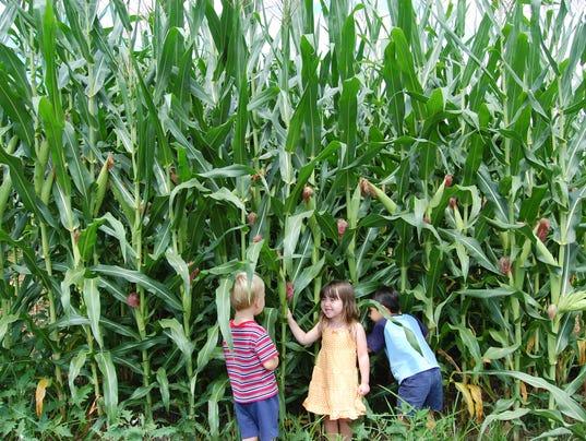 635786958534575956-Corn-Maze-all-corn