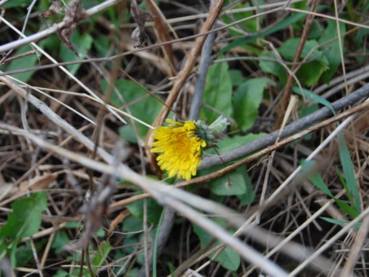 635977889072258315-05.08.16---Dandelion-in-a-Blackberry-Bush.JPG