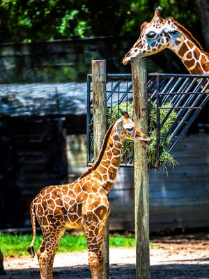 This June 25, 2017, photo released Monday, July 31, 2017, by the Fort Worth Zoo shows shows a male reticulated giraffe named Beltre. The giraffe was named in honor of Texas Rangers' Adrian Beltre reaching 3,000 hits. (Fort Worth Zoo via AP)