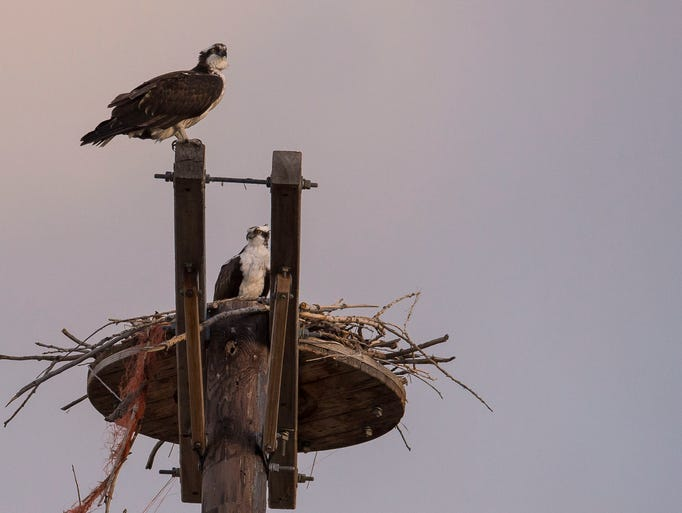 A pair of mating osprey sit on their perch just to