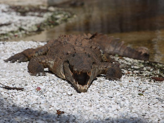 A rare American crocodile has emerged from the waters