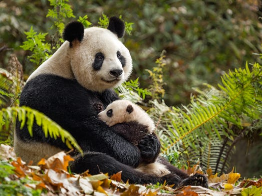 Panda mother Ya Ya dotes on her Mei Mei.
