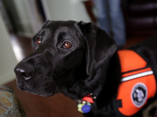Two-year-old Labrador, Valley, who was trained by the Oregon based Dog for the Deaf organization, will stay with Diane Munro, 52, and help her at home in Clawson on Thursday, Feb. 25, 2016.