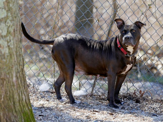 Remy, a 6-year-old Staffordshire Terrier/Pit Bull mix up for adoption, plays outside during the Asbury Park Press' visit to the Associated Humane Societies during National Puppy Day in Tinton Falls, NJ Thursday March 23, 2017.  Remy has been in the shelter for 2 years and is currently the longest resident. #puppylove